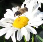 Biene-auf-Margarite