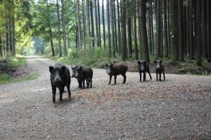 Wildschweine - Foto Inge Veil-Köberle