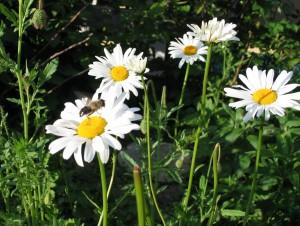 Margariten mit landender Biene Foto ivk