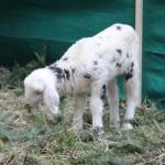 Lamm geboren Anfang Dezember 2013 - Foto ivk
