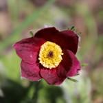 Blume Küchenschelle - Foto oberschwaben-welt