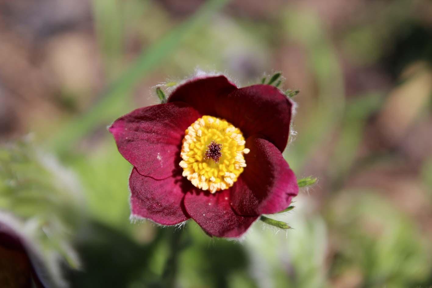 Küchenschelle Blume ~ frühling und deko