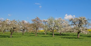 Blühende Obstbaumwiesen - Foto oberschwaben-welt.de