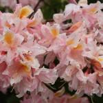 Schnittlauchblüte - oberschwaben-Welt