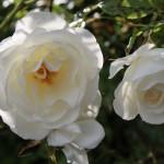 Rosen - oberschwaben-welt