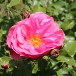 Rose - oberschwaben-welt