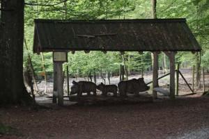 Wildschweingehege Tannenbühl Bad Waldsee - oberschwaben-welt
