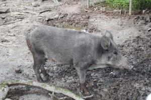 Wildschweingehege Tannenbühl  (2)