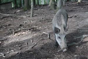 Wildschweingehege Tannenbühl  (4)