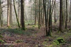 Oberschwaben-04-Wald