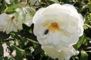Garten-09-Rose-weiss