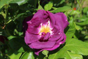 Garten-10-Rose-blau