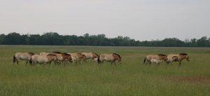 Hortobagy-Przewalsky-Pferde